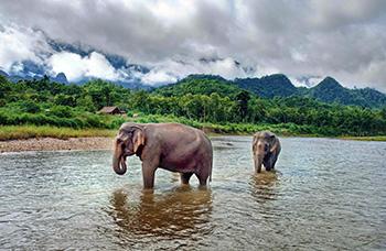Elephants d'Asie